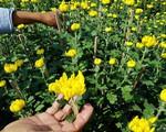 Thời tiết xấu, làng trồng hoa Tết Khánh Hòa gặp khó khăn