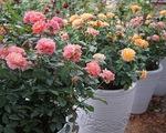 Cách chăm sóc hoa hồng trưng bày dịp Tết