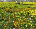 Nông dân điêu đứng vì bệnh sọc thân trên hoa cúc vụ Tết