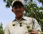Quýt hồng chết hàng loạt, nông dân Đồng Tháp lao đao