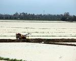 Nguy cơ mất hàng nghìn hecta lúa do mưa lũ