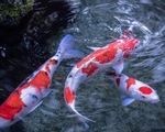 Độc đáo cuộc thi sắc đẹp cá Koi tại Nhật Bản