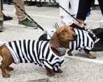 Thú vị cuộc diễu hành của những chú chó 'xúc xích'