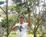Trở thành tỷ phú nhờ trồng bưởi da xanh
