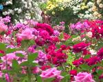 1000 cây hoa hồng Bulgari đang chờ bạn khám phá trong lễ hội hoa hồng