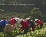 Hiệu quả từ mô hình sản xuất chè an toàn ở Thái Nguyên