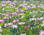 Ngỡ ngàng cánh đồng hoa sen giữa vùng đất khô khát