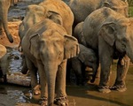 Cảnh báo tình trạng voi bị giết hại tại châu Á