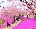 Mê mẩn mùa hoa anh đào nở rộ ở Nhật Bản