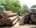 """Phượng """"râu"""" mua gỗ trục vớt để làm bình phong buôn gỗ lậu?"""