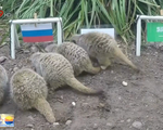 Chồn đất dự đoán Nga thắng trận khai mạc World Cup