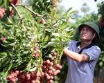 Vải thiều được mùa, Bắc Giang nỗ lực tìm kiếm thị trường tiêu thụ