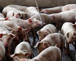 Bộ NN&PTNT cần có kịch bản điều hành giá thịt lợn