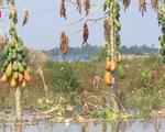 Nước lũ lên nhanh đe dọa sản xuất tại Đồng Tháp