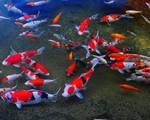 Xu hướng nuôi cá Koi tốt cho phong thủy