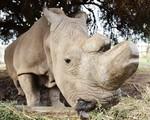 Tạo phôi thai để cứu tê giác trắng phương Bắc khỏi họa tuyệt chủng - ảnh 2
