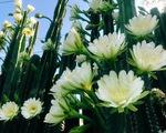Hàng hoa xương rồng đẹp như mơ ở Sóc Trăng gây 'sốt' mạng