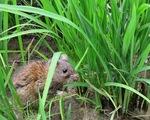 Quảng Bình: Gần 3000 héc-ta lúa Hè Thu nhiễm sâu bệnh và bị chuột phá hoại