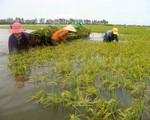 Đồng Tháp: Khẩn trương thu hoạch lúa, hạn chế thiệt hại trong cơn lũ lớn