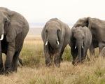 Phát hiện số lượng voi bị giết lớn nhất trong lịch sử tại Botswana