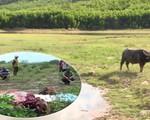 Tiêu điểm: Cảnh báo trộm bò xẻ thịt ở Nam Trung Bộ - Tây Nguyên