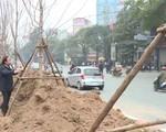 Hà Nội thí điểm trồng cây phong lá đỏ ở một số tuyến phố