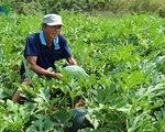 Vụ dưa hấu Tết của nông dân Cà Mau hứa hẹn bội thu