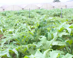 Hiệu quả kinh tế với quản lý trồng và sản xuất dược liệu theo chuẩn mới