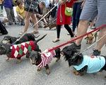 Độc đáo lễ diễu hành của hàng trăm chú chó lạp xưởng