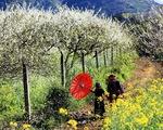 Ngất ngây với hoa mận nở trắng đồi ở Mộc Châu