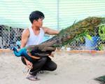 Chàng trai sở hữu hàng chục chim công đẹp mắt, quý hiếm