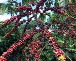 Việt Nam đứng thứ hai thế giới về xuất khẩu cà phê