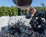 Sản lượng nho làm rượu vang sụt giảm mạnh trong năm 2019 - ảnh 1