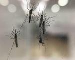 Thả muỗi mang khuẩn đặc biệt để ngăn sốt xuất huyết