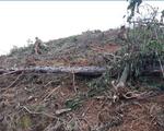 Phát hiện thêm vụ phá rừng thông tại Lâm Đồng