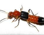 Cảnh báo tổn thương do kiến ba khoang