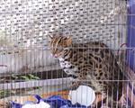 Bàn giao cá thể mèo rừng cho Trung tâm động vật hoang dã