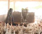 Người chăn nuôi e ngại tái đàn sau dịch tả lợn châu Phi - ảnh 1