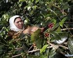 Đặc sản cà phê ở Indonesia