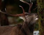 Hươu đỏ Scotland tiến hóa do biến đổi khí hậu