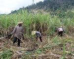 Góp phần đẩy nhanh tiến độ thu mua mía cho nông dân Hậu Giang