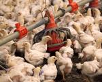 Trung Quốc dỡ bỏ hạn chế nhập khẩu các sản phẩm gia cầm của Mỹ - ảnh 1