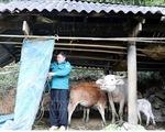Hơn 2 vạn gia súc có nguy cơ bị đói, rét do thời tiết lạnh