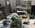 Hà Nội: Nam thanh niên trồng cần sa trong nhà trọ