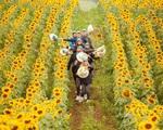 Mê mẩn với cánh đồng hoa hướng dương Nghệ An