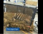 Mỹ: Phát hiện hổ sống trong nhà bỏ hoang