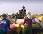 Thị trường lúa gạo kém sôi động trong đợt thu hoạch rộ lúa Đông Xuân