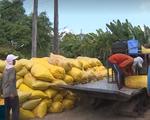 Nghịch lý lúa Đông Xuân chất lượng cao nhưng bán với giá thấp