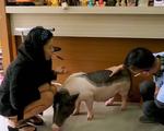 Tương lai của những chú lợn cảnh sau Tết Nguyên đán Kỷ Hợi