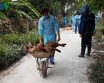Hải Phòng: Thêm hộ chăn nuôi có lợn bị mắc dịch tả lợn châu Phi